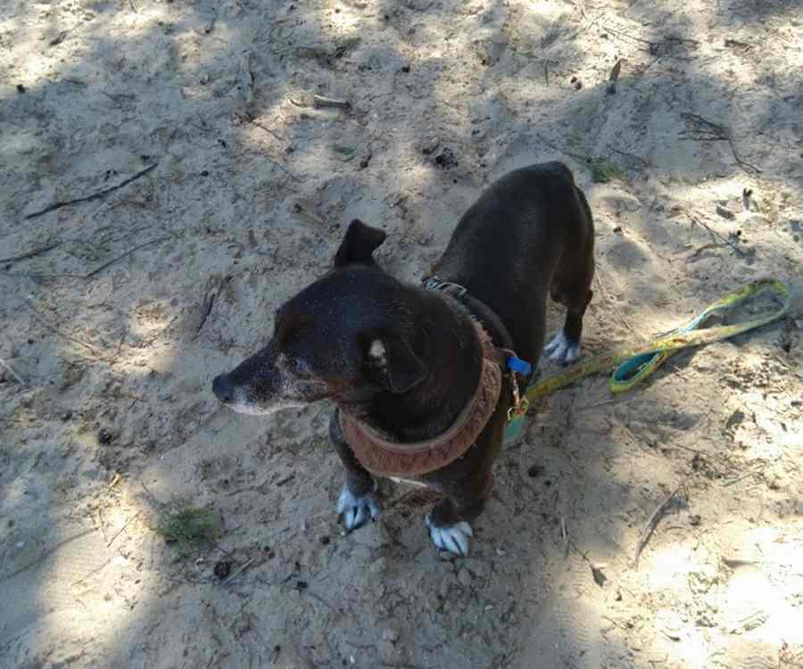 Chihuahua Walking