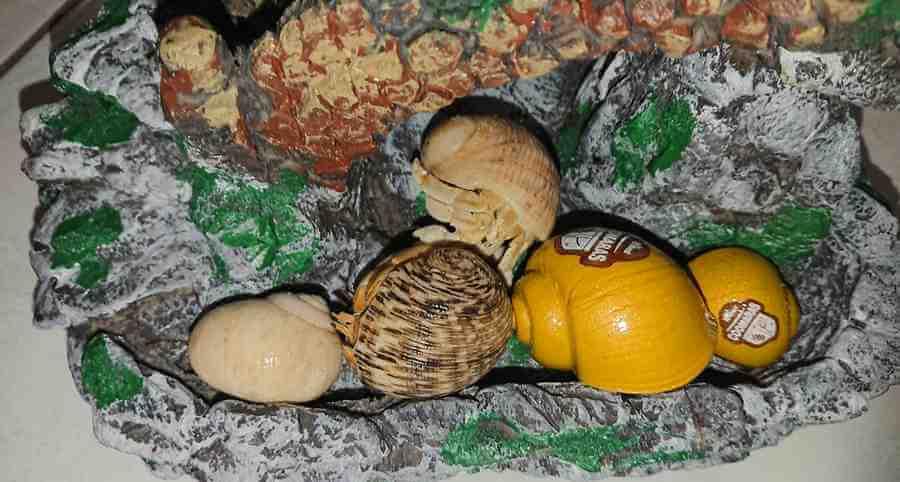 Hermit Crabs Shells