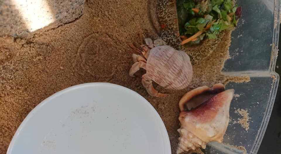 hermit crabs life