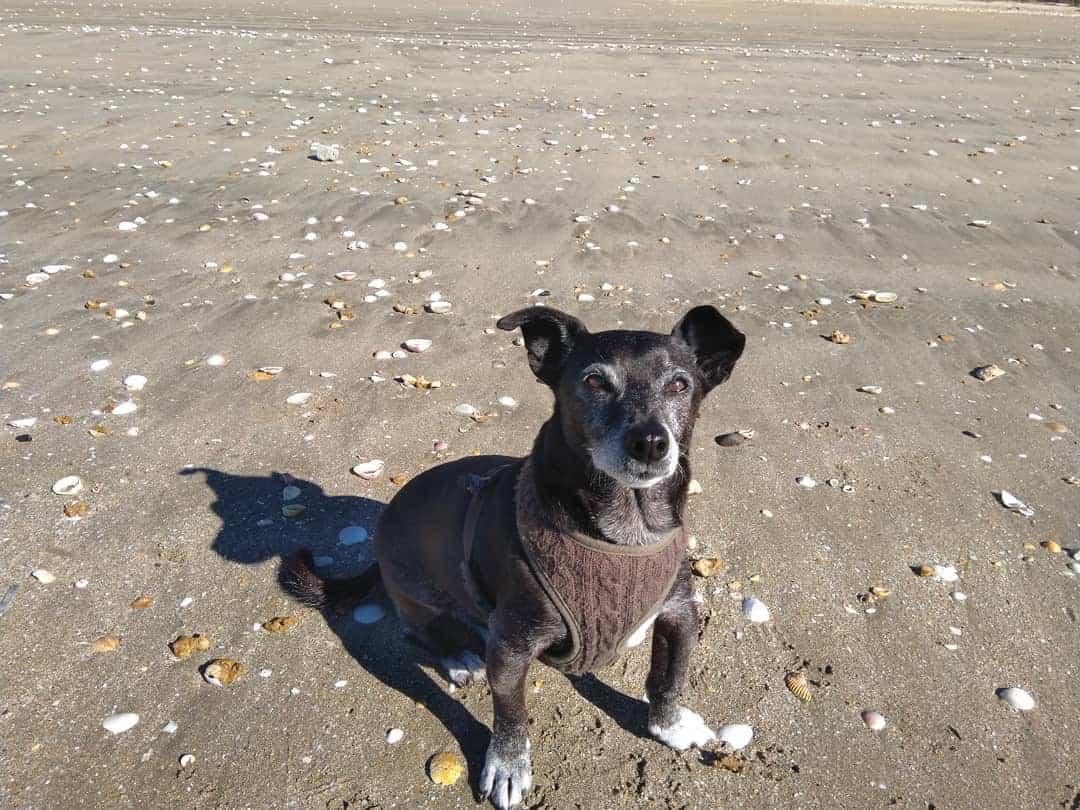 Do Chihuahuas Like the Beach?