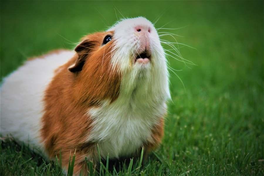Guinea pig scratching