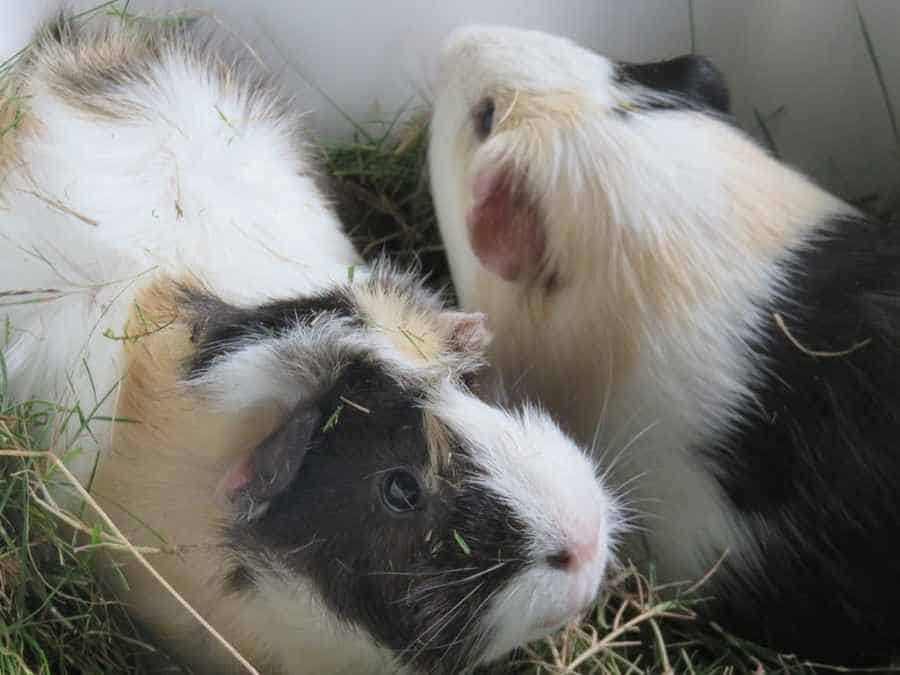 Guinea Pigs Sharing Food Bowl