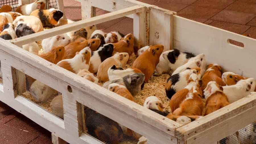 guinea pigs cage