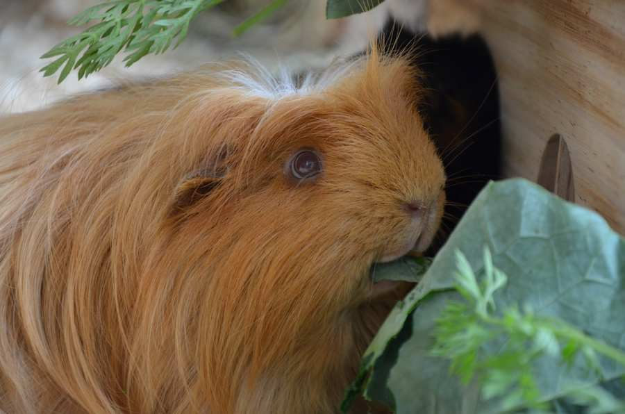 guinea pigs eye problems