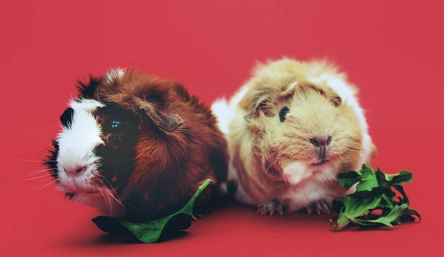 guinea pigs food
