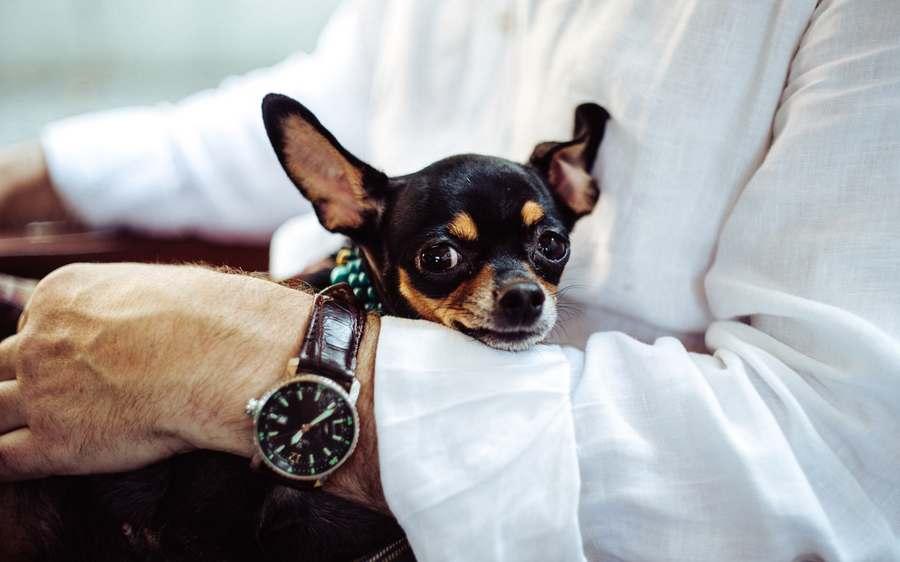 Are Chihuahuas Smart