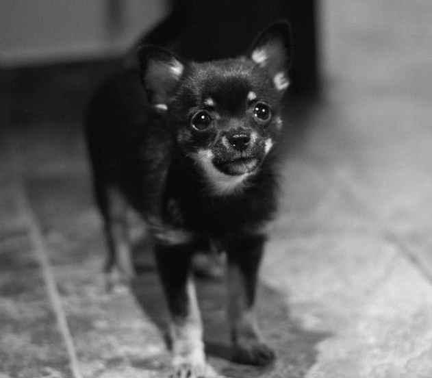 Are Chihuahuas Aggressive