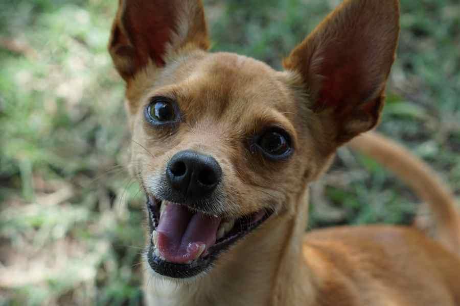 Smart Chihuahua