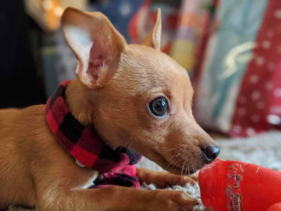 Can A Chihuahua Be An Emotional Support Dog