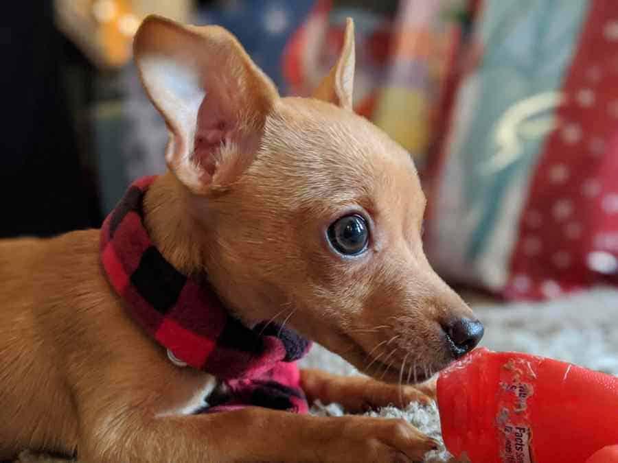 Chihuahua IQ