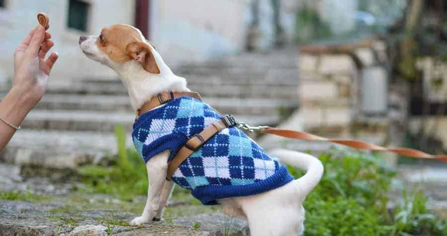 Chihuahua going to run