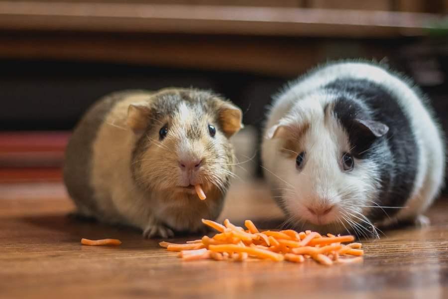 Guinea Pig Food home made